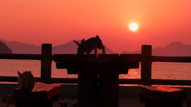 [ウサギの島で自由きままに滞在プラン(5泊)] 瀬戸内海の燃えるような夕日とテーブルの上で遊ぶウサギ