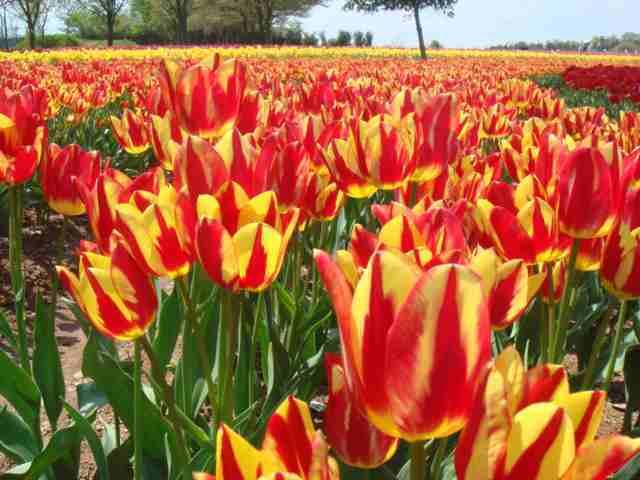 [【旅Q】~春爛漫~ 世羅高原花めぐり(4/26~2泊)(4/27~2泊)(5/7~2泊)] 世羅高原農場 満開のチューリップがお出迎えしてくれます