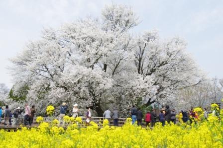 [【旅Q】「南阿蘇の桜満喫ツアー」南阿蘇有名桜スポット「一心行の大桜」・隠れ桜スポット「観音桜」ツアープラン] 一心行の大桜