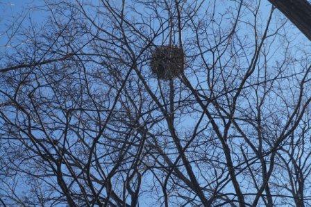 あれは鳥の巣?「ヤドリギ」です!