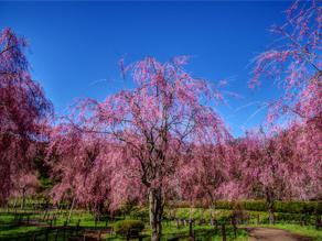 盛岡市米内浄水場の桜
