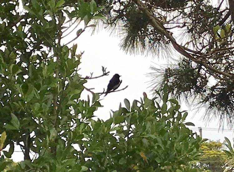 【幸せの青い鳥!?】オオルリを見つけました!