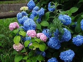 もうすぐ梅雨、紫陽花を見よう!!