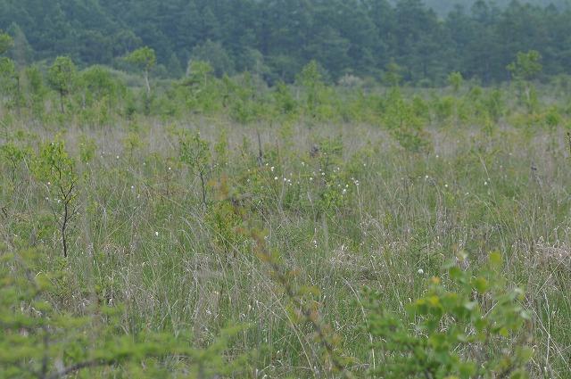 戦場ヶ原のワタスゲが咲き始めました