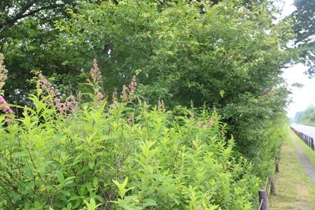 戦場ヶ原でホザキシモツケが開花しました