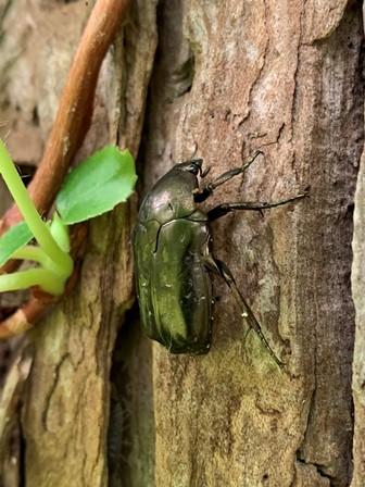 光り輝く甲虫「アオカナブン」