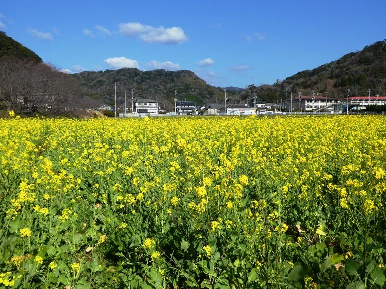 南伊豆早春の花めぐり ~爪木崎の野水仙と日野の菜の花畑~