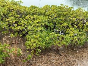 南伊豆のマングローブ
