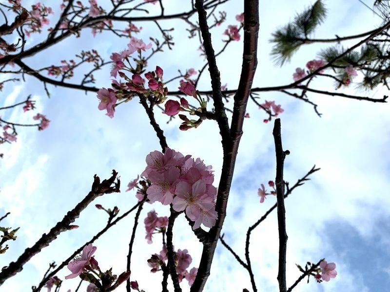 満開の休暇村河津桜。