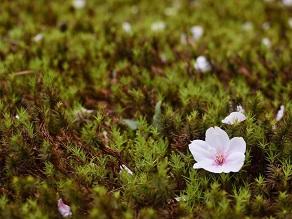 桜の満開予想日は「04/01」