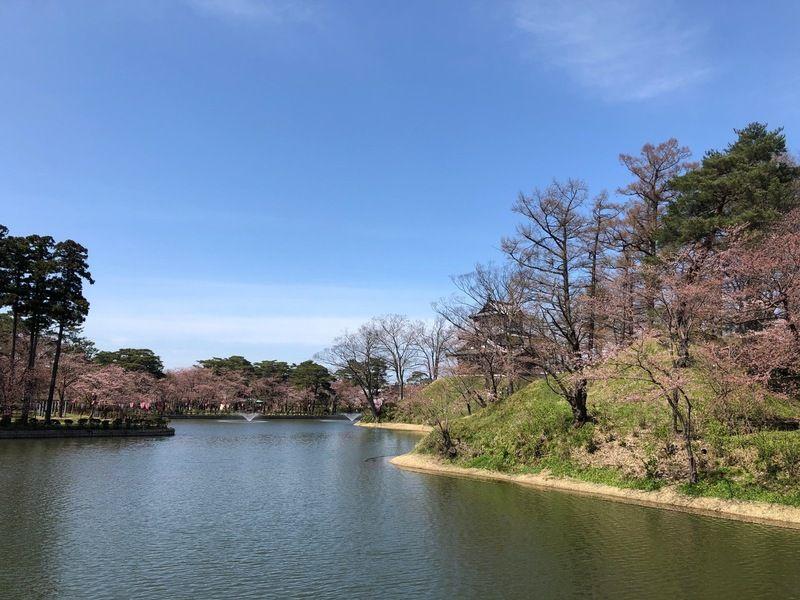 桜開花情報~高田城址公園~