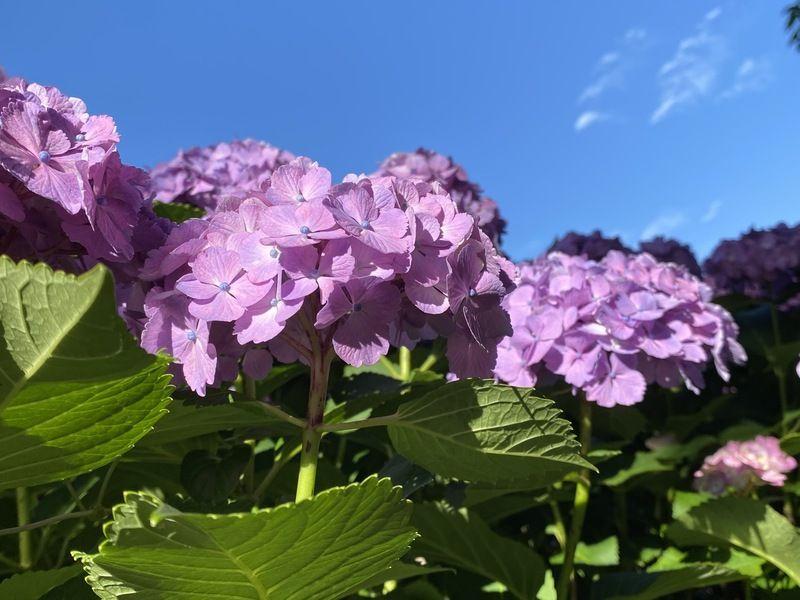 夏はすぐそこに(6)青空とアジサイがとても綺麗です♪
