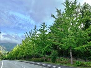 秋晴れの色づき始めるイチョウ並木♪