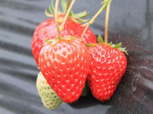 1月♪イチゴの美味し季節になりました(/・囚・)/