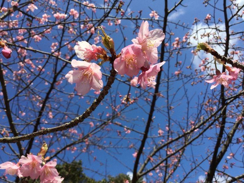 桜の木が色付き始めました!