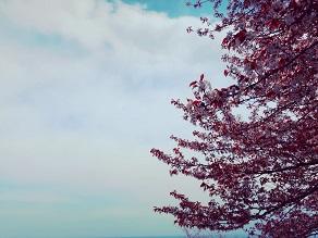 桜がピンク色なのはなぜ?自然現象解明シリーズvol.3