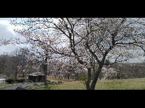 園地内の桜が満開です🌸