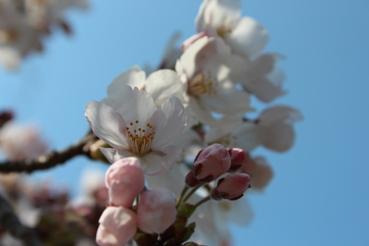 今が見頃♪「釜石市唐丹町 本郷桜並木」