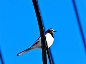 宮城県の野鳥情報Vol.22「セグロセキレイ編」