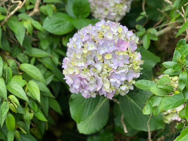 野鳥の森 紫陽花