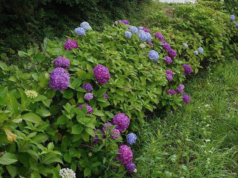 雨の束の間の紫陽花
