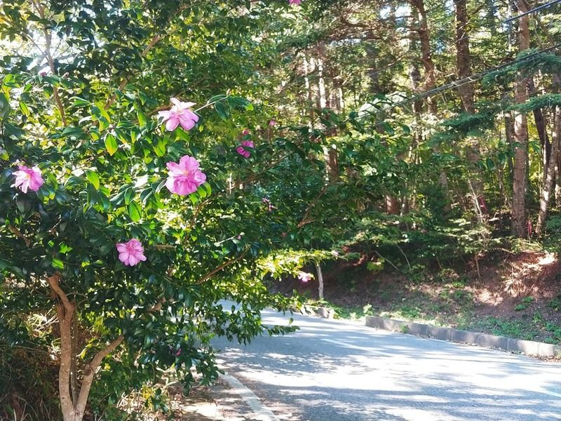 これから見頃のサザンカ咲き始めました。