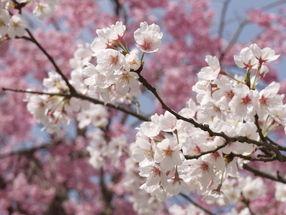 桜とともに東北へ!