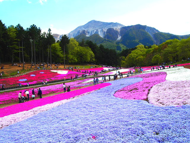 [【2泊3日+バスツアー付き】春の秩父を旅する羊山公園の芝桜まつりと長瀞の散策] 羊山公園の芝桜【見頃/4月中旬~5月初旬】