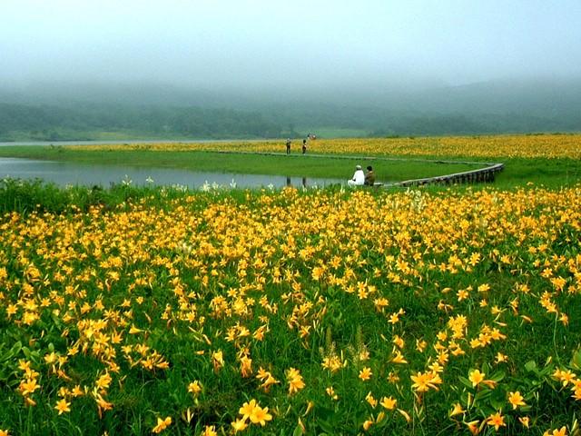 [【旅Q】ニッコウキスゲの楽園「雄国沼」見学ツアー] ニッコウキスゲ群落