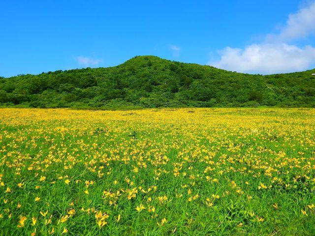 [【旅Q】ニッコウキスゲの楽園「雄国沼湿原」見学バスツアー] ニッコウキスゲの、1m2中の株数は日本一 雄国沼(おぐにぬま)