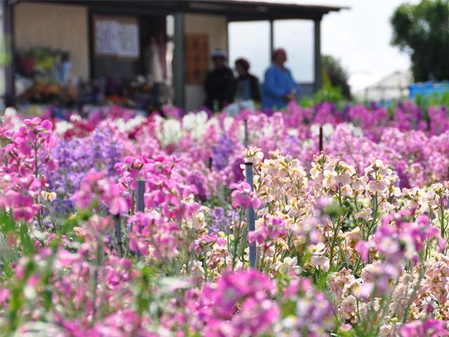 [房州のお花をちょっぴりプレゼント♪ネット予約限定☆早春プラン] 少しずつお花も咲いてきました♪