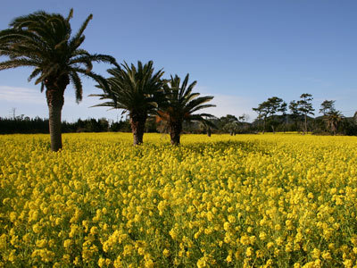 [【写真ツアー】渥美半島菜の花の岬の春の海と黄色い絨毯の情景を撮る] 渥美半島を黄色く染める広大な菜の花畑を撮ります。