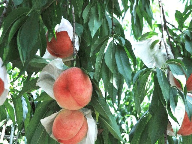[和歌山の夏の味覚「桃狩り」&幕末の名医・華岡青洲ゆかりの地を巡る旅] 和歌山の夏の味覚・桃