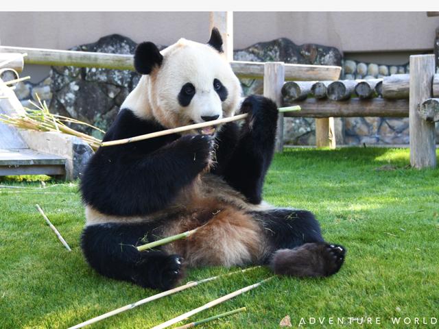 [パンダ一家と赤ちゃんに会いに行こうアドベンチャーワールドと白浜めぐる] かわいいパンダに癒されます。