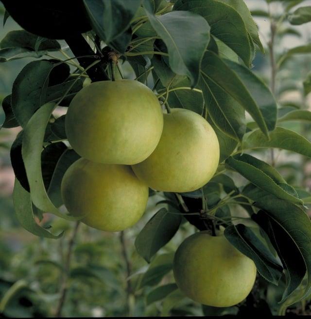 [【Q会員がおトク♪】とっとり「秋の恵み」サンキューにこにこ宿泊プラン] 梨のお土産付きで嬉しい♪