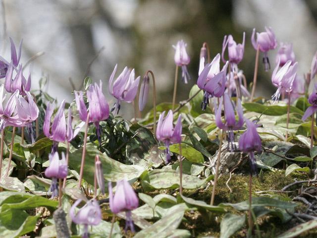 [【旅Q】2020年  鏡ヶ成山開き 擬宝珠山・象山登山ツアー] カタクリの花