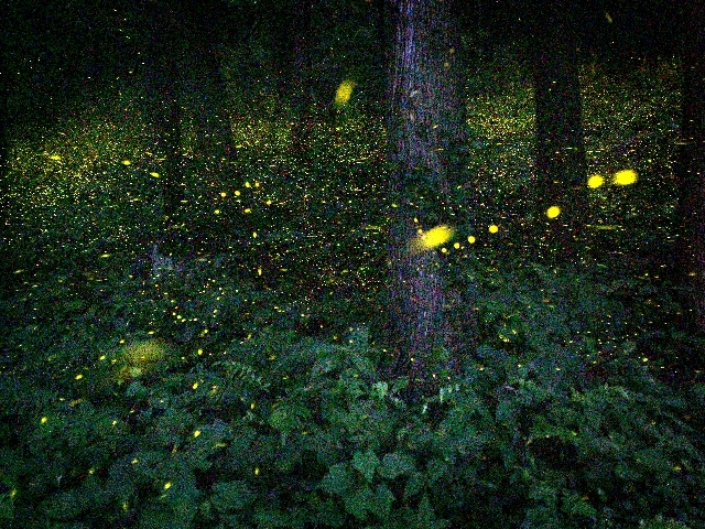 [【旅Qツアー】帝釈峡ヒメボタル鑑賞ツアー~七夕の夜空と共に~] 神龍湖湖畔の森に広がるヒメボタルの幻想的な輝き