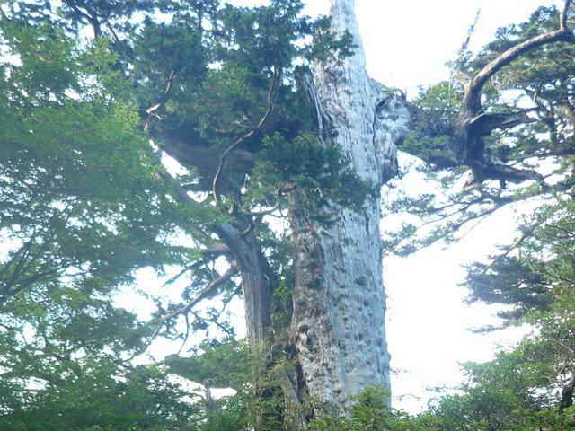 [【旅Q】高速船で行く!悠久の自然が息づく神秘の島、世界自然遺産「屋久島」をめぐる旅] 紀元杉